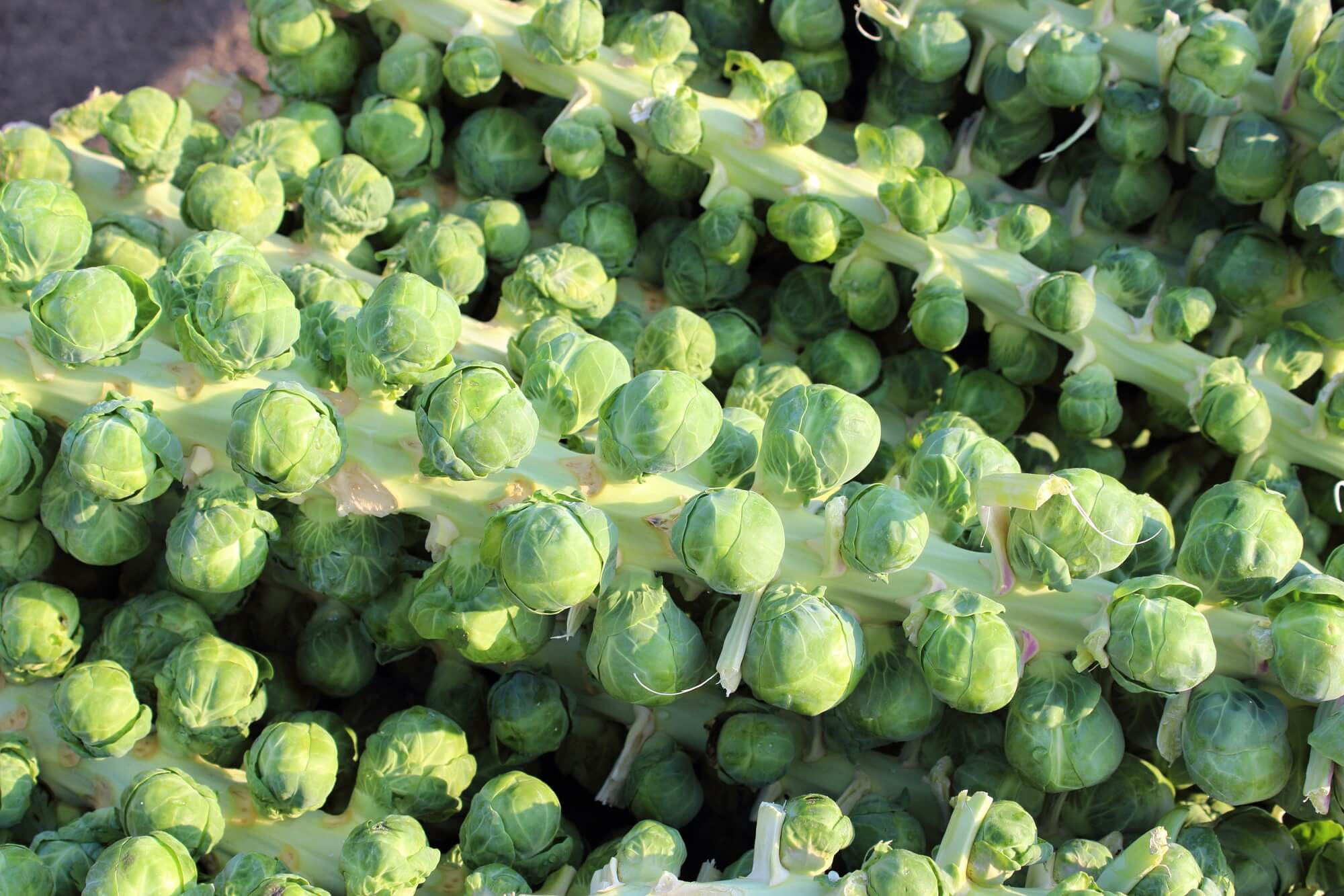 Brussels sprouts stalk with individual sprouts.