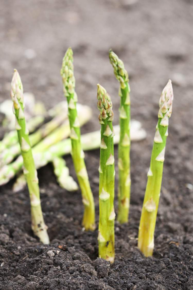 Asparagus growing in a field.